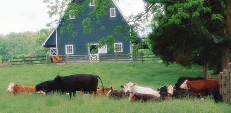 Cattle on a farm grazing with blue barn in background